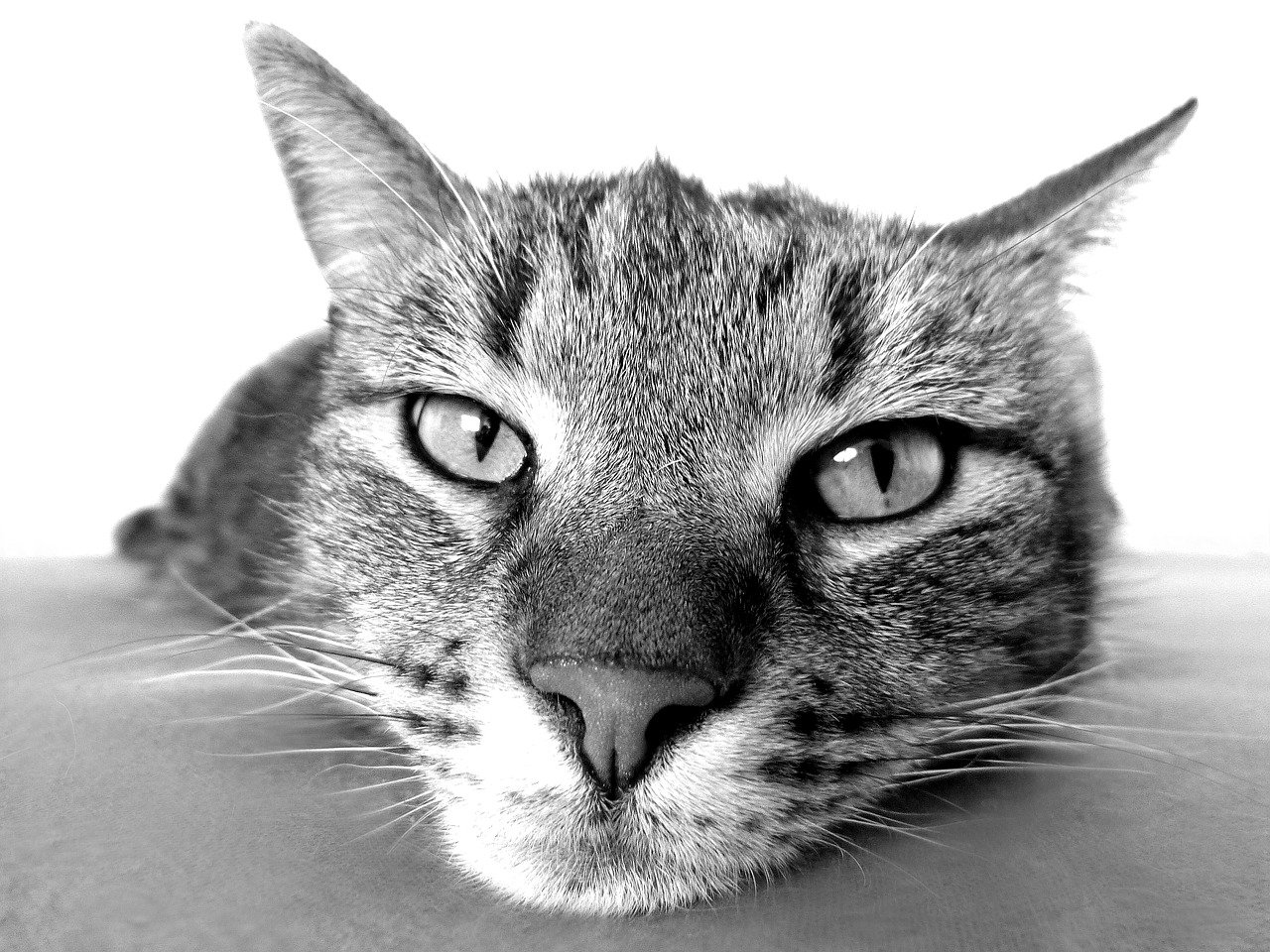 Cat Pet Animal Tabby Cat Domestic Cat Feline